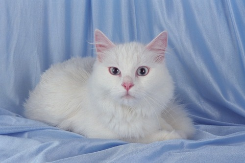 Turkish-angora-cat-2_large