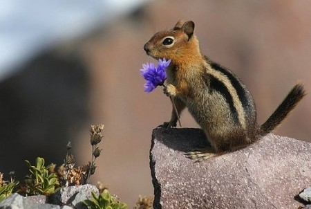 Chipmunk-450x302_large