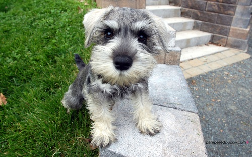 Miniature_schnauzer_pc_wallpaper-1920x1200_large