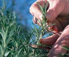 The Garden of Eaden: HOW TO TAKE CUTTINGS FROM ROSEMARY
