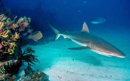 Grey_reef_sharks_widescreen_wallpaper_66428_large