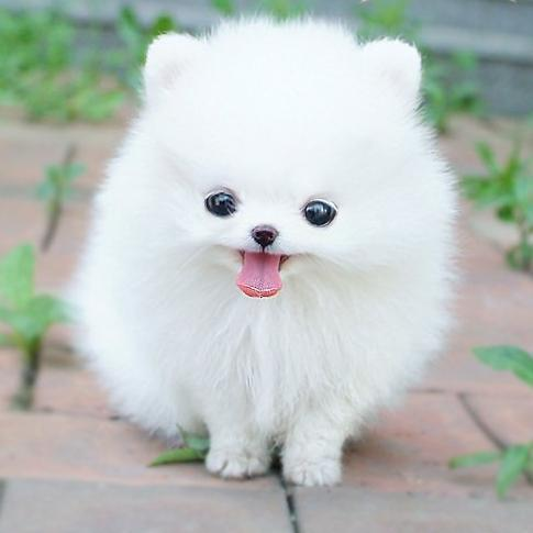 White-fluffy-dog_large