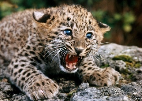 49573614 z934619 persian leopard cub spl large BBC News   On how the leopard got its spots