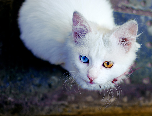 furby lover's profile White Kitten With Blue And Green Eyes