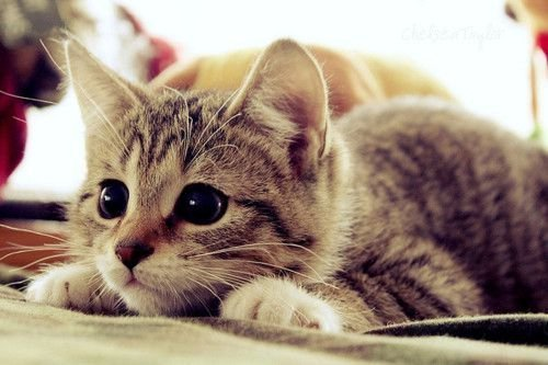 Aww-cat-cute-kitten-favim.com-288946_large