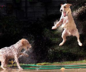 terriers dogs play water