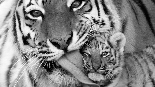 Animal-black-and-white-tiger-favim.com-246212_large_large