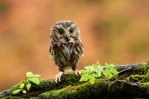 Animal-aww-cute-owl-favim.com-258678_large