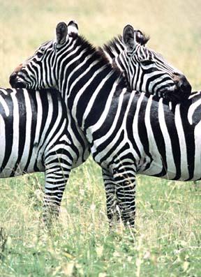 Zebras_s_large