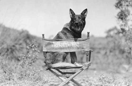 1925-rin-tin-tin_1582023i_large