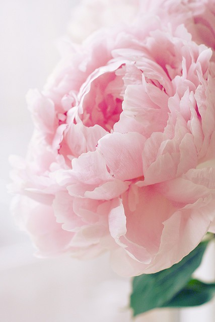 Beauty of nature / peonies