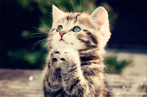 Cute_praying_kitten_large