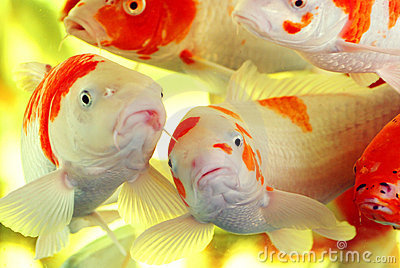 1205078541G8un19 large Royalty Free Stock Photography: Colorful koi carps