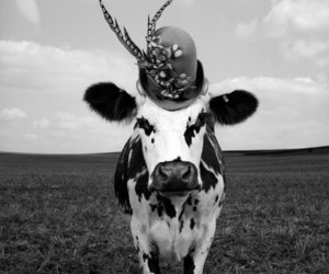 cow in a hat