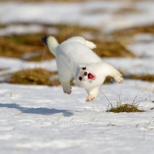 Funny,animals,white,cute,mink,adorable-a7e53c493670e4bbc77ab9269007bb66_h_large