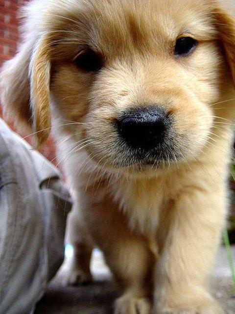Fancy   Golden Retriever Puppy