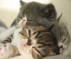 three sleepy persian kittens