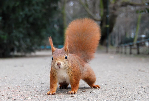 Wiki_red_squirrel_large