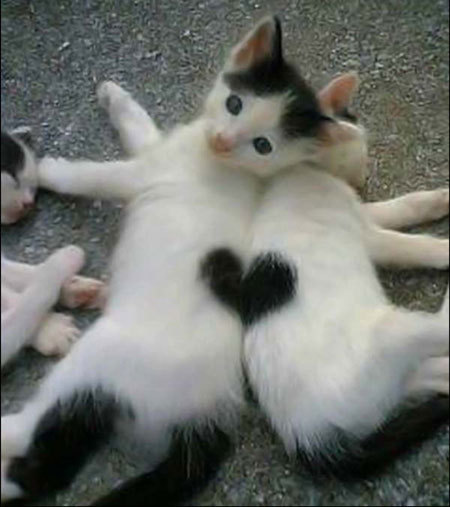 Funny-cats-heart-hair-fur_large