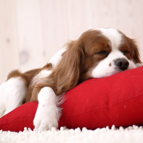 Puppy_on_pillow-728x728_large