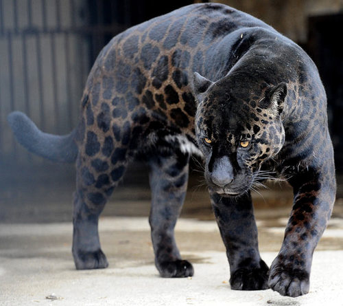 Black-panther_1576289i-172737_large