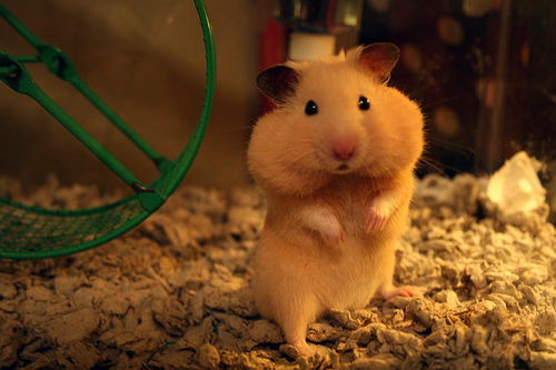 Animal-cute-hamster-pet-quality-favim.com-331490_large