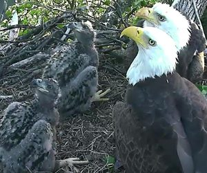 eagles and eaglets