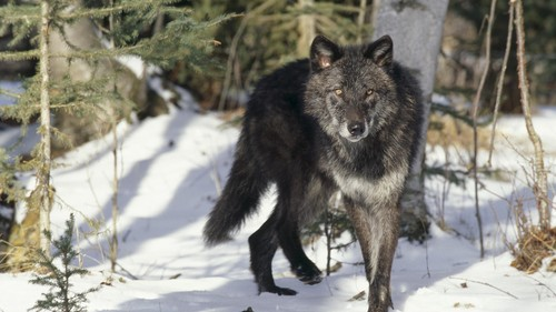 wallpaper 1525779 large black animals gray wolf   Wallpaper (#1525779) / Wallbase.cc