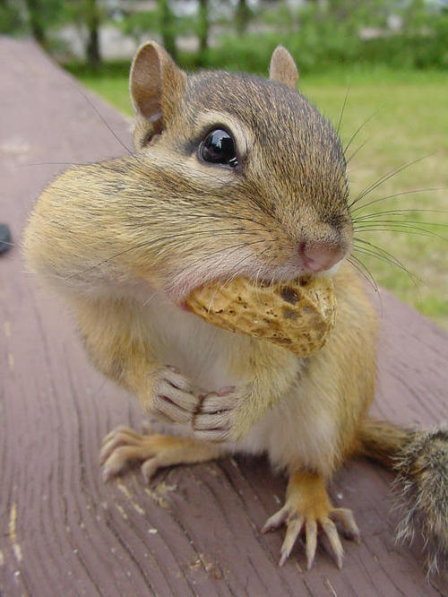Local_wildlife_chipmunk_3-4266-3-_tplq_large
