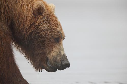 0421 Grizzly Profile Nate Zeman large Grizzly Profile : Alaskan Brown Bear (Ursus arctos)   Katmai National Park   Alaska : Nate Zeman   Fine Art Nature Photography