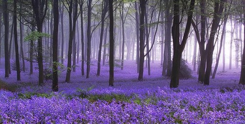 Color_flower_forest_bluebell_dawn_spring-6534d90473b4a439b2bb0fc32be39636_h_large
