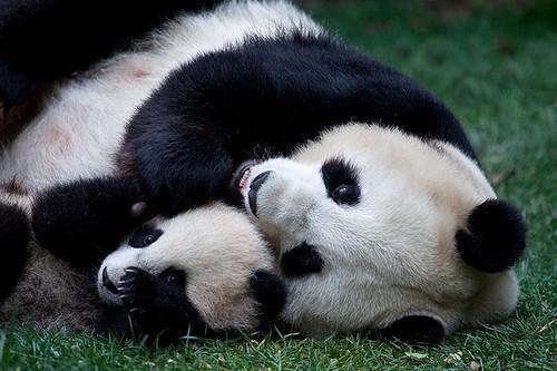 Pandas-abracados_large