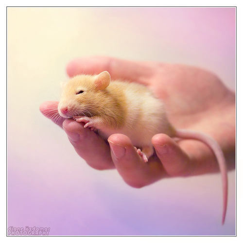 Feirefiz 1 - Fancy rat by *DianePhotos on deviantART