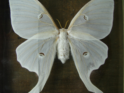 All sizes | mounted luna moth | Flickr - Photo Sharing!