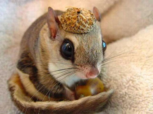 Flying_squirrel_acorn_hat_large