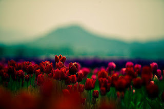 Beautiful_mountain_nature_photography_red_tulips-1ce1260065569c685de7709d96891973_h_large