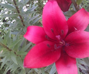 flower red lily