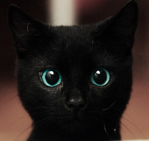 blue eyes, cat, cute - inspiring picture on Favim.com