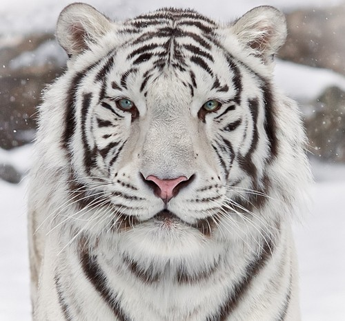 19 witte tijger - Show me a picture of the tiger ...