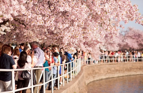 Spring is here {Todos} NavidBaraty_Cherry_Blossom_Festival3_large