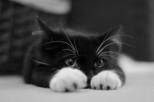 Animal_ptfs_animalia_adorable_beautiful_black_and_white-87a47d432d973240541182b0e36cd9c5_h_large