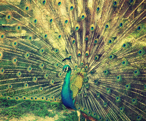 peacock photo from me