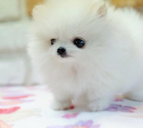Cotton-candy-cute-dog-girly-kawaii-favim.com-361210_large