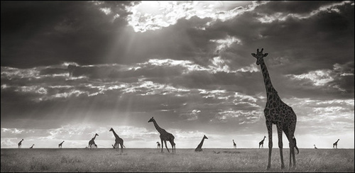Nb_giraffesineveninglight-06_lr_large