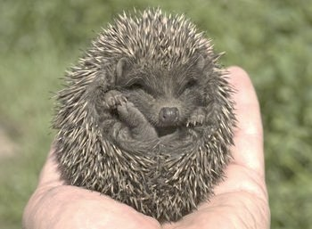 315598 9712 57 large pet hedgehogs   Bing Images