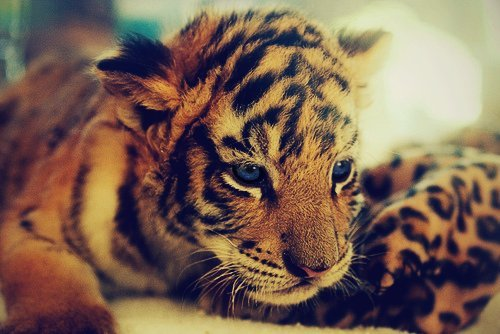 Animal-babiilov3-baby-baby-tiger-cute-favim.com-366898_large