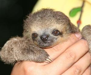 sloth baby