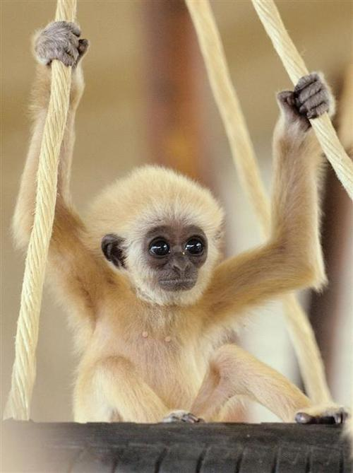 Babygibbon_large
