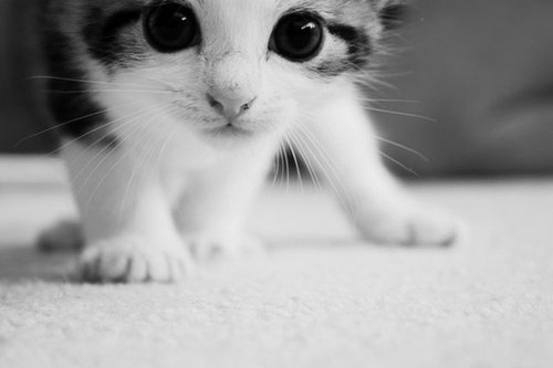 Blackampwhite-cat-cute-kitten-favim.com-406459_large