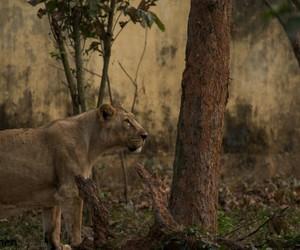 lion feline big cat